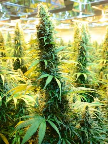 cannabis medicinal: CanniMed