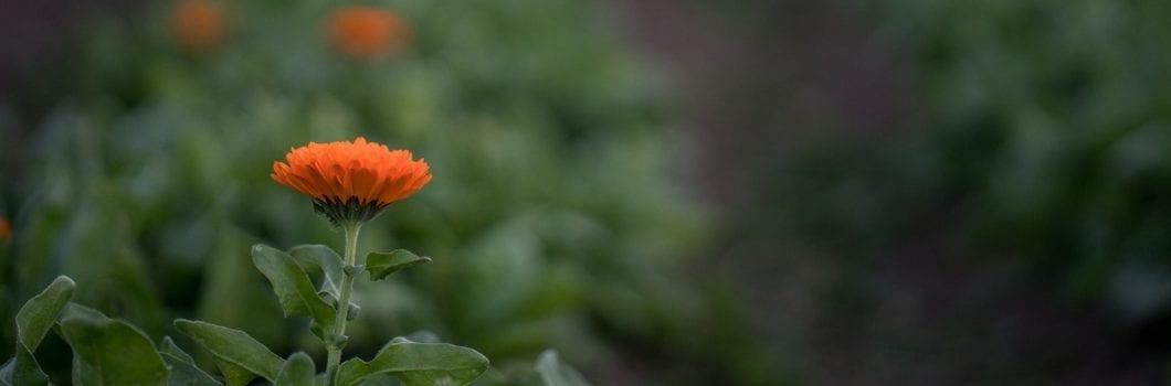 Flor de caléndula sobre fondo borroso de jardín