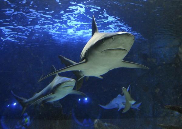 Bucear con tiburones en un acuario